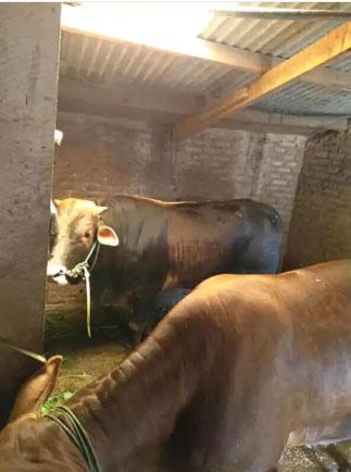 Di jual sapi jantan sehat