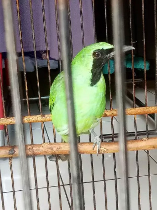 Jual burung cica hijau…