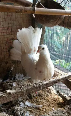 Burung Dara Kipas