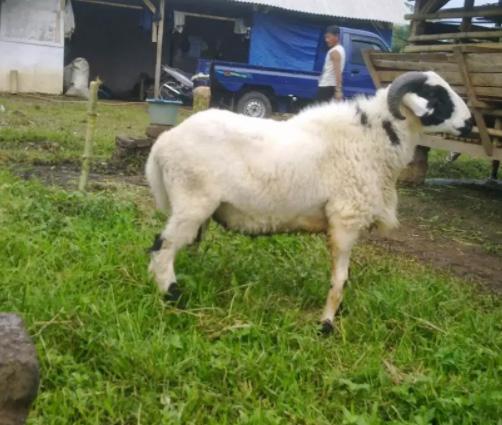 Domba dan kambing Aqiqah Bandung