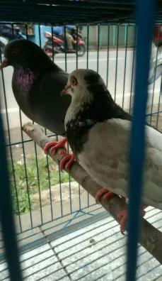 Burung Dara/merpati.