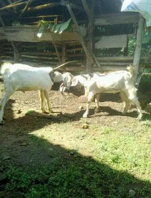 2ekor kambing jantan sehat dan gemuk