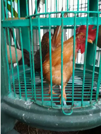 Ayam KT sepasang