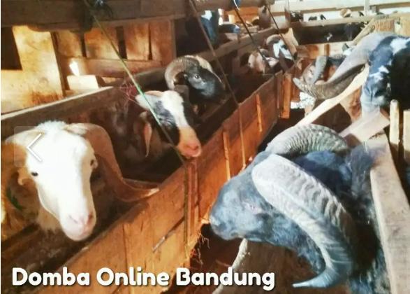 Domba Online Bandung
