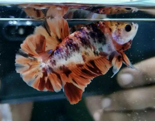 Ikan Cupang Nemo Leopard Over Rosetail Jual Beli Hewan Jadi Mudah
