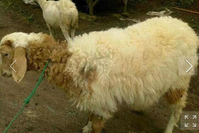 Paket domba aqiqah