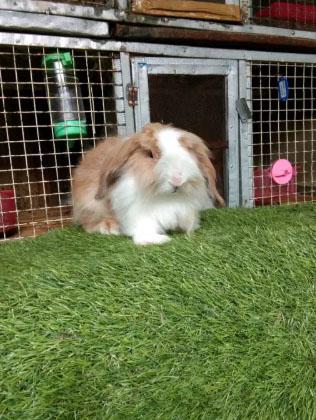 Kelinci hias jenis fuzzy lop