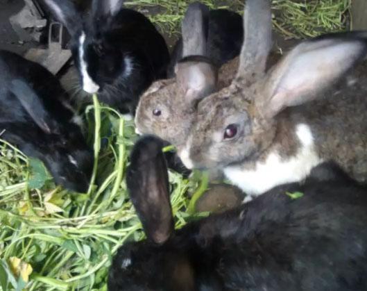 Kelinci indukan siap berkembang biak