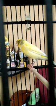 Burung kenari prestasi