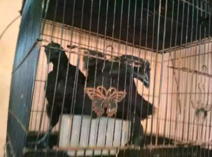 Anakkan Ayam Cemani Usia 3 Bulan Up Mantap Indah Super Istimewa