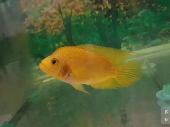 Louhan / Lohan Golde Base Mutiara Ikan Calon Ganongg Progresan !