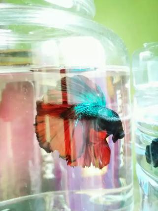 Ikan cupang halfmoon rose flower red tail