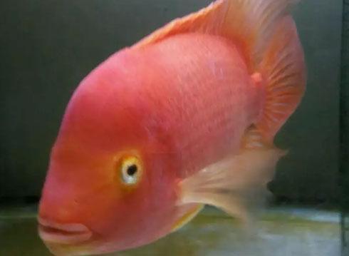 Ikan kingkong perrot