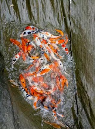 Ikan koi hasil petani kuta sirna serama cisaat sukabumi