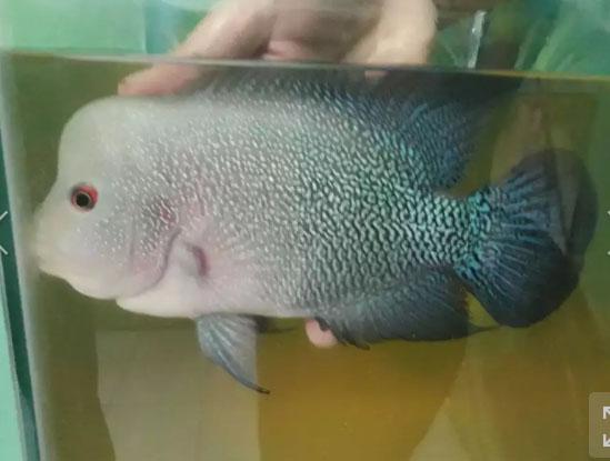 Ikan louhan cencu x srd