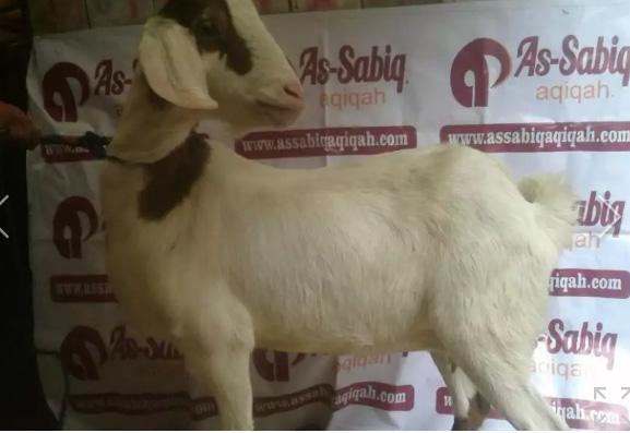 Domba Aqiqah Bandung sesuai syariah