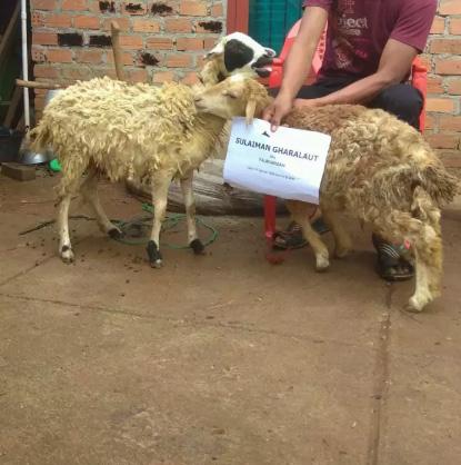Kambing / Domba untuk keperluan aqiqah