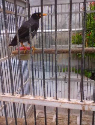 Di jual burung jalak kebo murah full isian