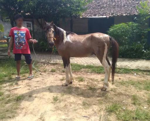 Kuda jantan jinak