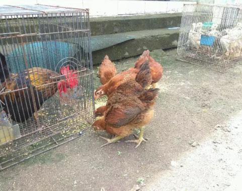 Ayam arab X ayam kampung amerika