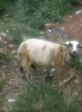 domba betina sehat