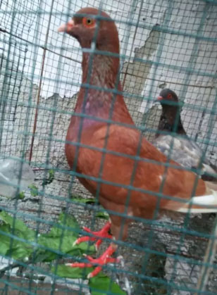 Burung dara sepasang nego