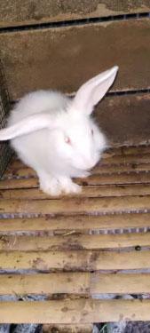 Kelinci Betina 4 bulan
