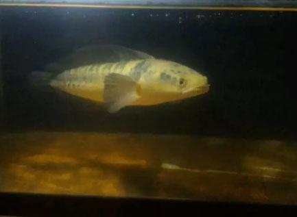 Ikan channa maru ukuran 40cm
