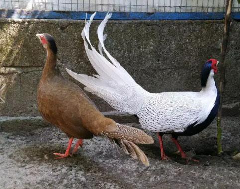 Ayam Hias Silver Pheasant (sepasang dewasa)
