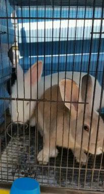 Kelinci sepasang
