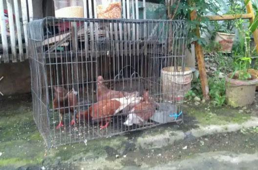 Burung Dara Merpati Borong 5 Ekor