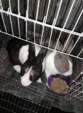 Kelinci hias satu pasang