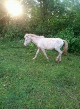 Kuda jantan kecil.