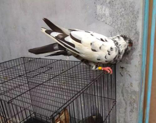 Burung dara sepasang