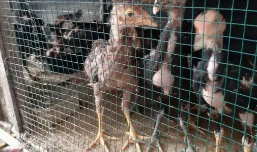 Bibit Ayam Kampung
