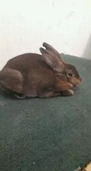 Kelinci hiasminirex doe / betina