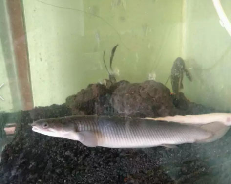 Ikan palmas ukuran 20cm