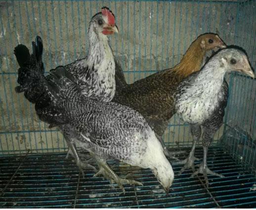 Pullet Siap Bertelur Ayam Arab -+14 Minggu GRATIS Ongkos Kirim
