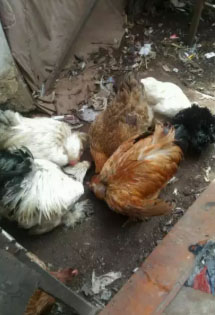 Ayam hias brahma dan lain- lain