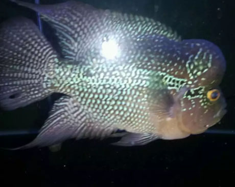 Ikan hias louhan srd size 23 cm / Nego