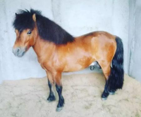Kuda shetland pony