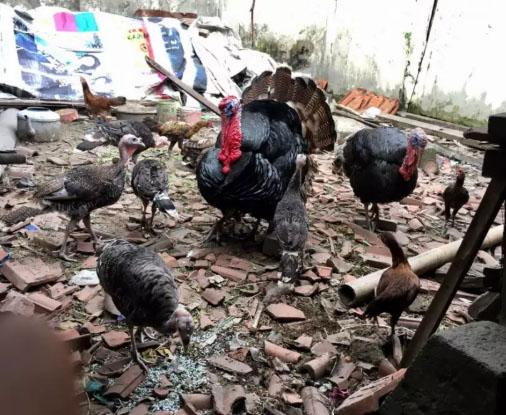 Ayam Kalkun Bronze Indukan/pejantan
