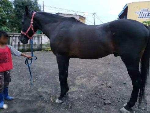 Kuda Hitam Jantan Siap Tunggang