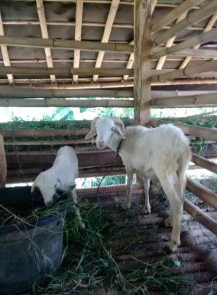 kambing domba badot