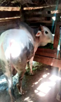 sapi besar dan sehat
