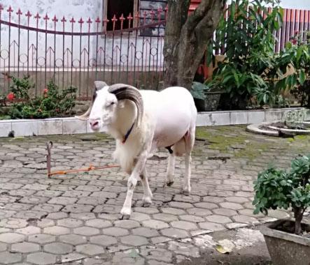 Domba Garut Unggulan