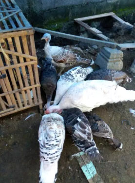 jago kalkun albino dan 5 kalkun babon produksi bonus 5 telur