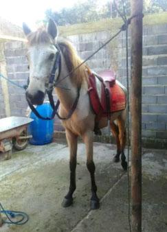 Kuda betina muda