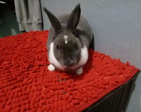 kelinci minirex usia 10 bulan