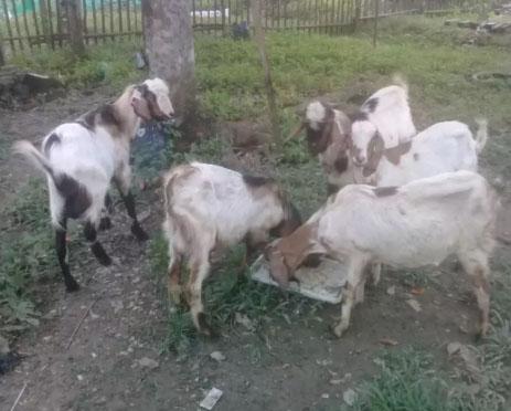 5 ekor kambing 3 pejantan dan 2 betina sehat wal afiat